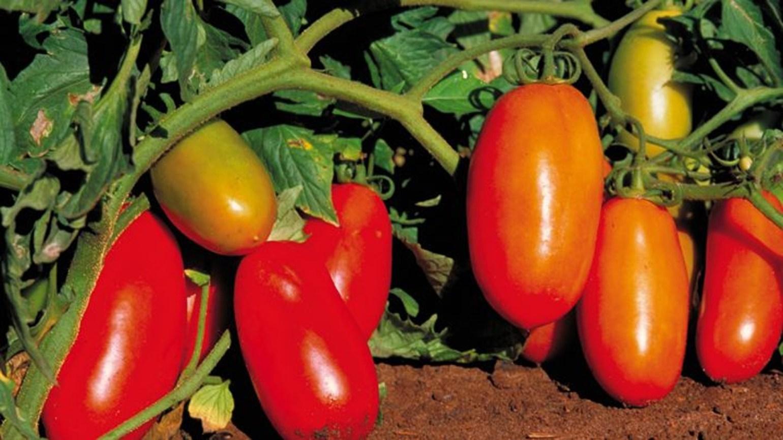 Tomate österreich
